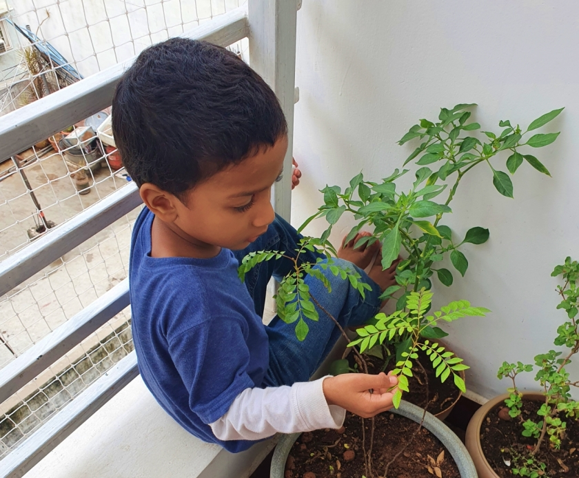 Child with a curry leaves plant in home balcony