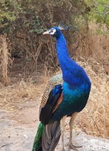 peacock closeup at kbr park h