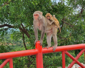 Monkey mom on a railing with her baby on her back
