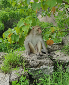 monkey at bongir fort