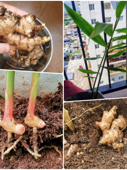 collage showing how to plant ginger
